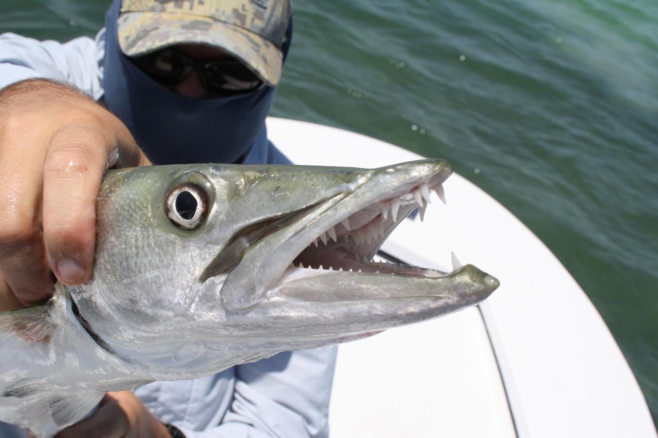 ▲ 창꼬치를 비롯한 꼬치고깃과 어류는 전투력이 강력하다
