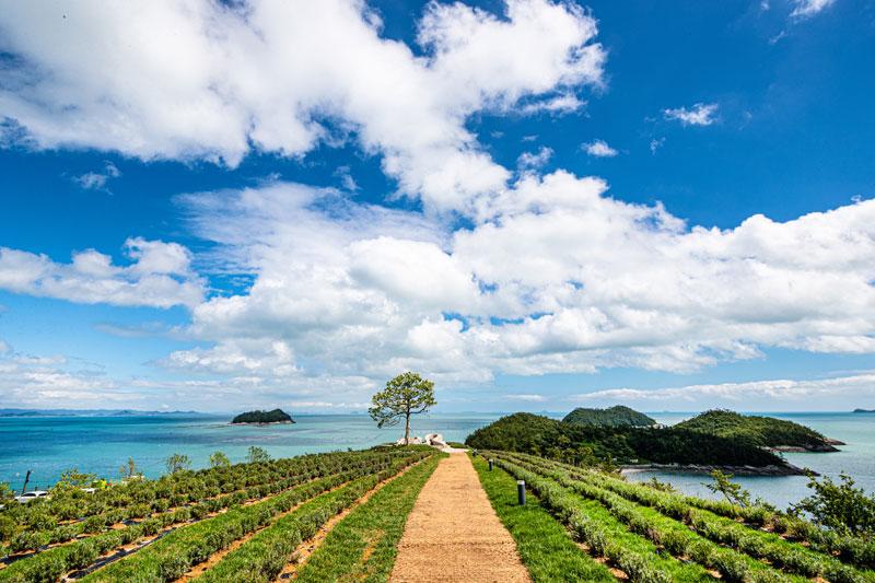 나무 한그루와 바다의 조화가 인상적인 라벤더 가든