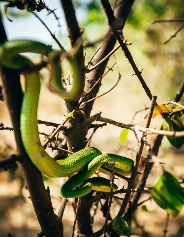 그린 바이퍼 스네이크(Green Viper Snake), 치명적인 독사다