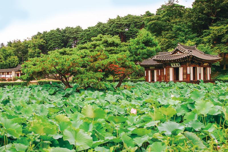 선교장 입구의 연못에 연꽃잎이 무성하다. 활래정이 보이는 풍경은 과거에 머물러 있는 것 같다