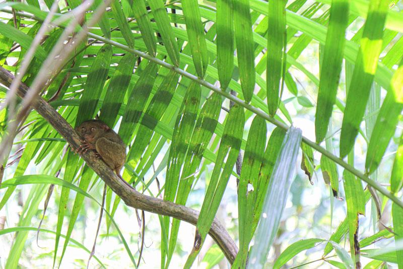 안경원숭이는 항상 같은 나무에서 잠을 자는 특성이 있다. 덕분에 보호센터 가이드는 매일 아침 나무로 돌아온 안경원숭이를 파악해 여행객들에게 안내한다