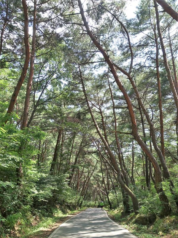 봉정사 오르는 길은 소나무가 터널을 이룬 호젓한 산책길이다