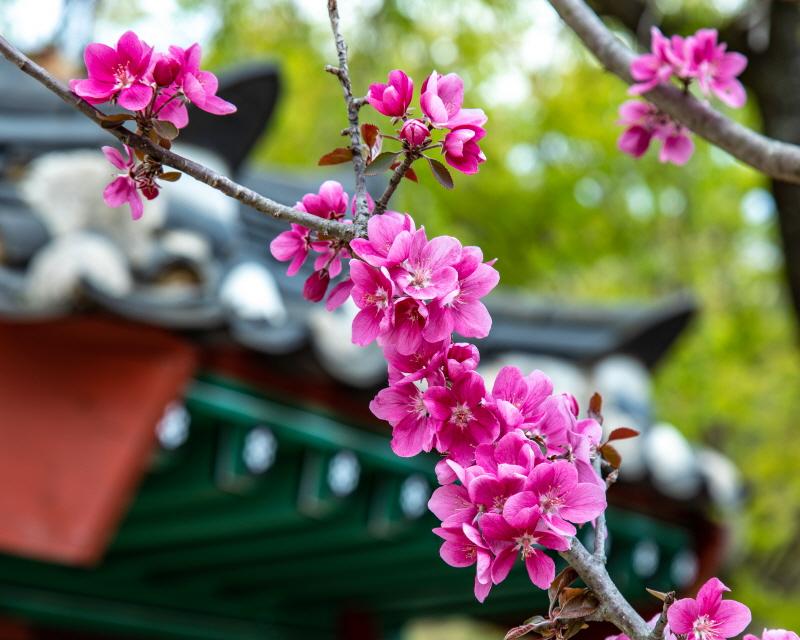 연곡사 마당에 피어오른 사과 꽃의 사연이 궁금하다