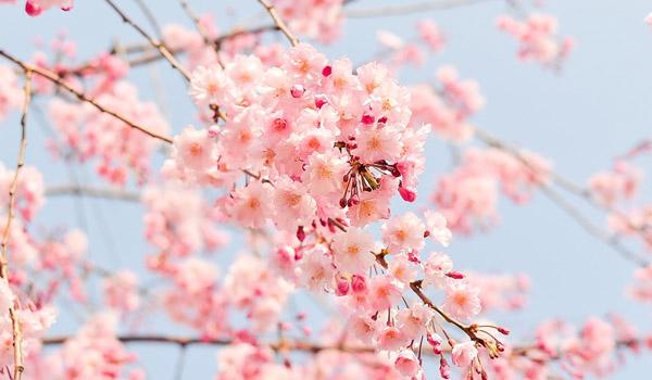 곧 벚꽃이 절정인 일본으로!
