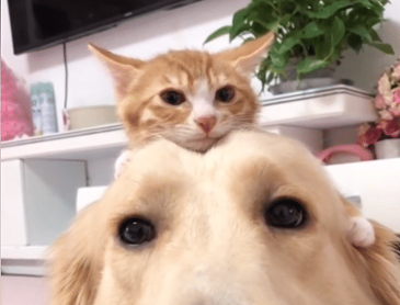 골든 리트리버와 아기 고양이