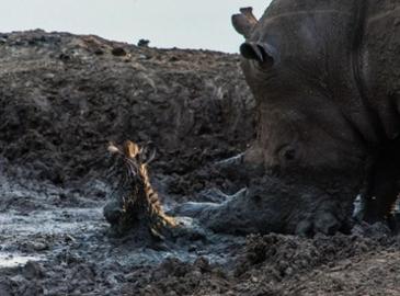새끼 얼룩말 구해주는 코뿔소