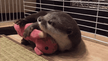 애착 인형 안고 자는 수달