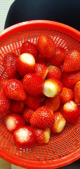 딸기 출하시기?