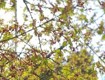 단풍나무 꽃