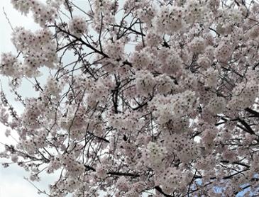 벚꽃이 만개 했네요
