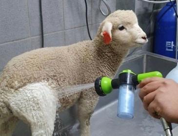 양을 목욕시키면