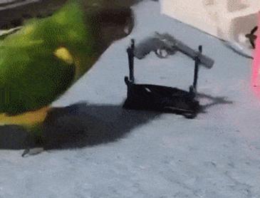 총 맞는 앵무새
