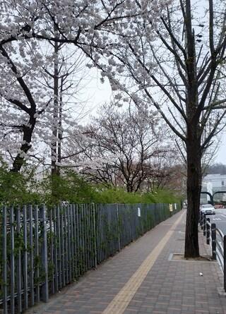 출근길에 찍은 벚꽃사진