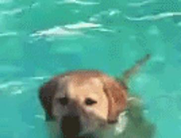 수영하다 깨달음을 얻은 댕댕이.gif
