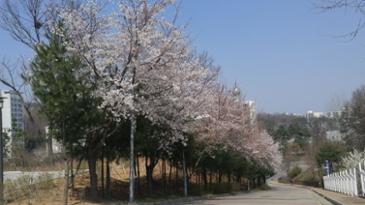 벚꽃이 피어있는 길입니다
