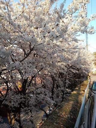벚꽃 구경~