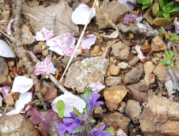 가지조개나물(금창초) 보라빛 꽃