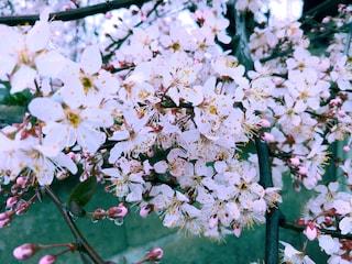 자두 꽃도 만개 했습니다