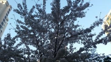 저희 동네도 벚꽃이 만개했었군요.