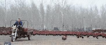 중국 닭 방목 농장