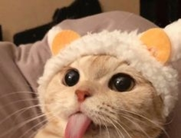 메롱하는 예쁜 고양이