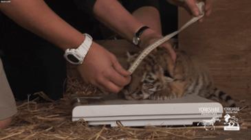 아기 호랑이 신체검사