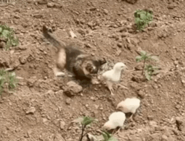 사이좋은 병아리와 고양이