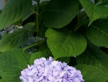청수국 꽃