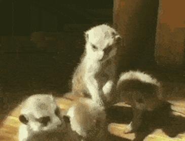 아직 서있는 게 힘든 아기 미어캣 ~!