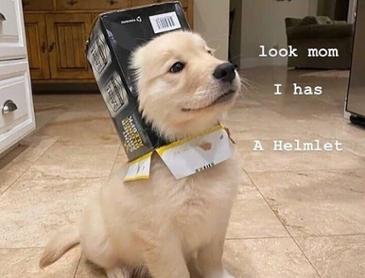 멋진 헬멧이 생겨서 자랑스러운 아기 리트리버
