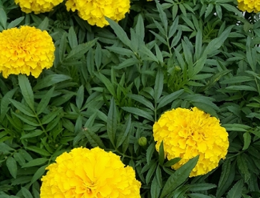 노란 메리골드 꽃