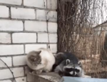 고양이 발을 한번 잡아보고 싶었던 라쿤