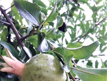 석류 열매입니다.
