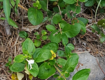 인동초(=금은화) 열매