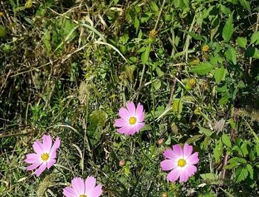 코스모스 꽃 (스압)