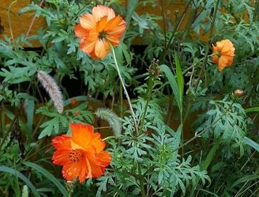 노랑코스모스 꽃