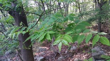 가장 쓴맛?의 나무인 소태나무 꽃과 풋열매 (스압)