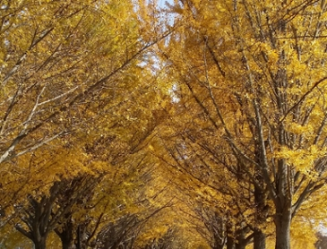 아산 곡교천 은행나무길