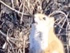 발효된 배를 먹고 취한 다람쥐