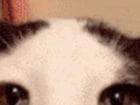 오리엔탈 숏헤어 고양이