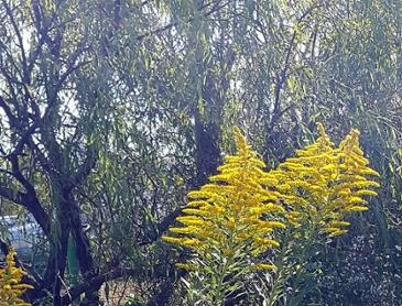 생태계교란식물 양미역취(키다리미역취) 꽃