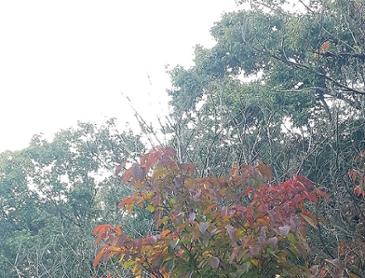 사람주나무 빨강, 노랑 단풍 (스압)