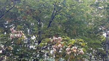 벽오동나무 단풍과 열매