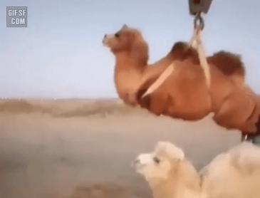 낙타 인형뽑기