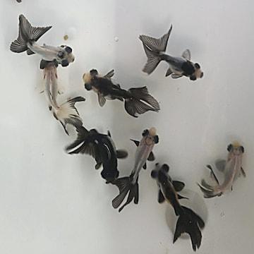 팬더 접미 (3~4cm) (1마리)_이미지