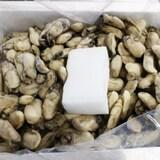 굴철철멸치철철 냉동굴 10kg  (1개)