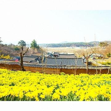 서천 유기방가옥 수선화동산 + 문수사 왕벚꽃 당일여행 (서울/경기출발)